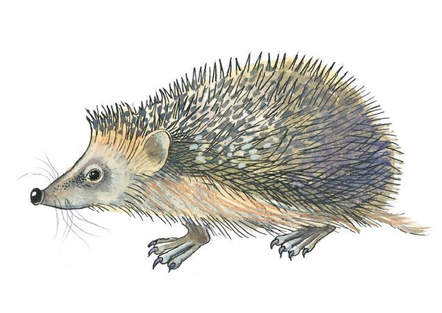 ilustrace ježek